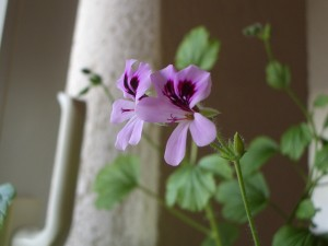 Blüte meiner Duftpelargonie