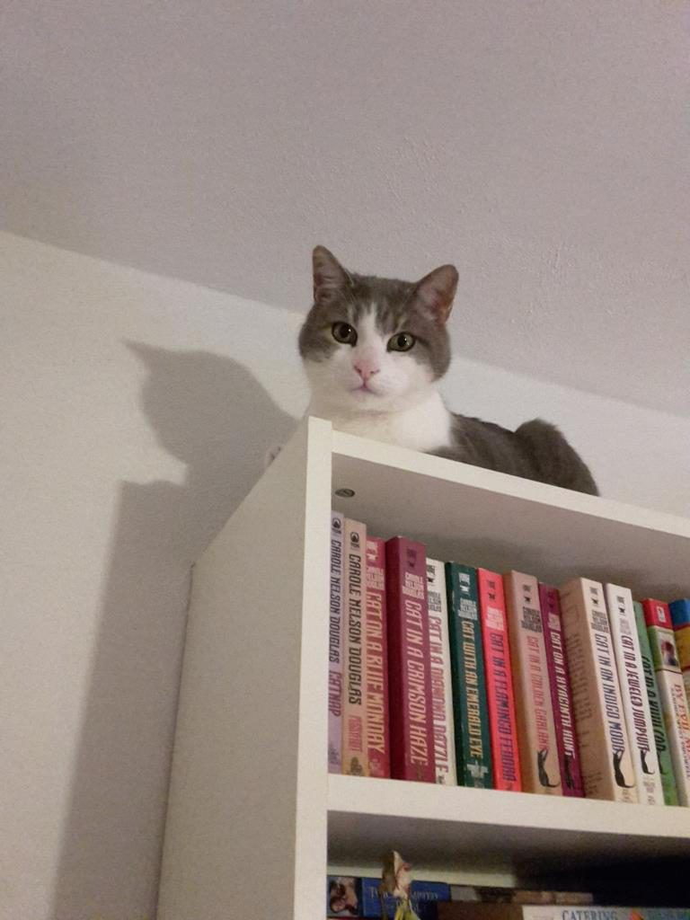 Cat on a Billy bookcase